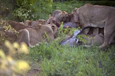 Free Lion Family Eating Their Prey Royalty Free Stock Photo - 7809515