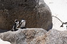 Free Jackass Penguin Royalty Free Stock Photos - 7809858