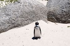 Free Jackass Penguin Royalty Free Stock Photos - 7809878