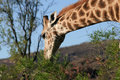 Free Giraffe Royalty Free Stock Photo - 7816035