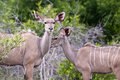 Free Kudu Mother With Her Cub Royalty Free Stock Photography - 7816217