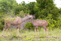 Free Kudu Mother With Her Cub Stock Photography - 7816222