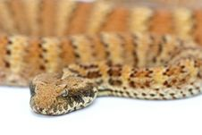 Free Death Adder Isolated On White Stock Photos - 7810653