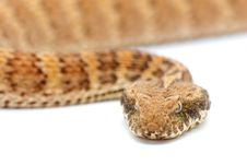Free Death Adder Isolated On White Royalty Free Stock Photography - 7810697