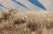 Free Mule Deer Royalty Free Stock Photo - 7811115