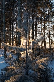 Free Winter Forest Stock Photos - 7811233