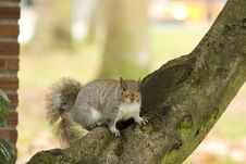 Free Squirrel On Tree Branch Royalty Free Stock Photography - 7811417