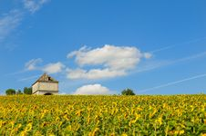 Free Sunflower Stock Photos - 7813373