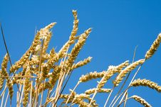 Free Wheat Stems. Royalty Free Stock Image - 7813756