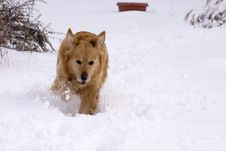 Free Dog In The Snow. Royalty Free Stock Photography - 7814287