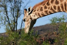 Free Giraffe Royalty Free Stock Photo - 7816035