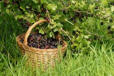 Free Gooseberries In The Basket Royalty Free Stock Photography - 7816297