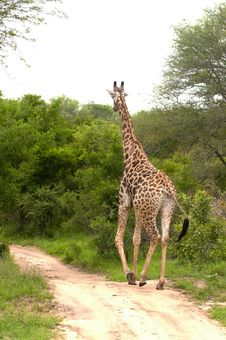 Free Giraffe In Kruger National Park Royalty Free Stock Images - 7816319