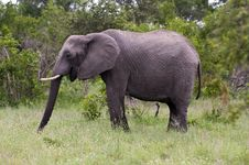 Free Young Male Elephant In Kruger Park Royalty Free Stock Photos - 7816358