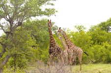 Free Giraffe In Kruger National Park Royalty Free Stock Photos - 7816368