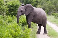 Free Young Male Elephant In Kruger Park Royalty Free Stock Photos - 7816388