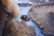 Free Clown Fish Stock Photography - 7816902