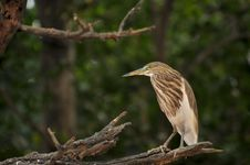 Free Black Crowned Heron Stock Image - 7816971
