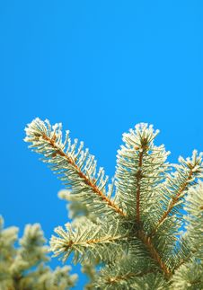 Free Branch Of Pine Stock Photos - 7816983