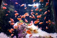 Free Clown Fishes Stock Photos - 7817083
