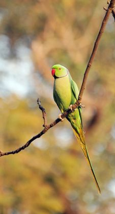Free Indian Green Parrot Royalty Free Stock Image - 7817406