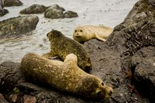 Seals On Rocks Royalty Free Stock Photography