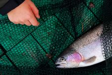 Free Trout And Children S Hand Stock Photography - 7818652