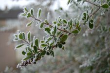 Free Frosty Shrub Royalty Free Stock Photos - 7818698