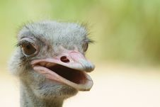 Ugly Ostrich Royalty Free Stock Image