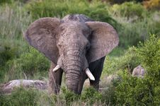 Free Elephant In Kruger Park Royalty Free Stock Images - 7819379