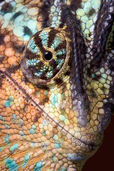 Free Chameleon Close-up Royalty Free Stock Image - 7819456