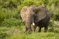 Free Elephant In Kruger Park Royalty Free Stock Image - 7819486