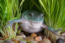 Free Whites Tree Frog In Grass Royalty Free Stock Photo - 7819965
