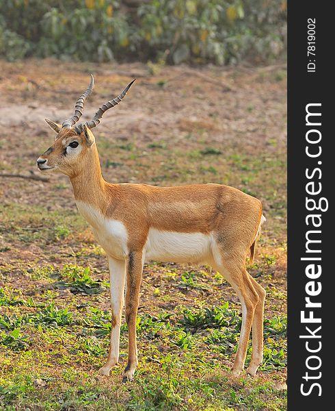 Chinkara Deer - Free Stock Images & Photos - 7819002