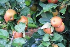 Free Apples On The Tree Royalty Free Stock Photos - 78143258