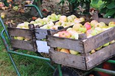 Apples In Steinsel. Luxembourg Stock Photography