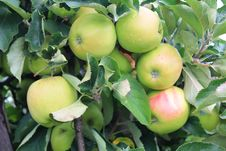 Apples On The Tree In Steinsel. Luxembourg Royalty Free Stock Photos