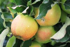 Apples On The Tree In Steinsel. Luxembourg Stock Photography