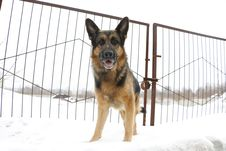 German Shepherd Dog Is Guarding An Object Royalty Free Stock Photography
