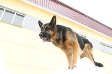 Free German Shepherd Dog Is Guarding An Object Stock Photo - 78146080