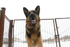 Free German Shepherd Dog Is Guarding An Object Stock Images - 78146164