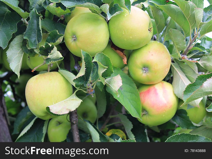 Apples on the tree in Steinsel. Luxembourg