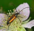 Free Longhorn Beetle Royalty Free Stock Photography - 7822077
