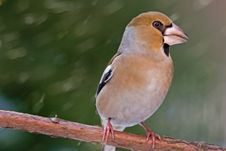 The Hawfinch Stock Photo
