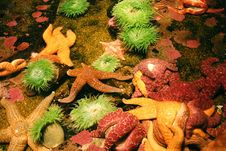 Free Starfish Royalty Free Stock Photo - 7820185