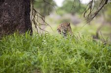 Free Leopard Resting Stock Photos - 7820263