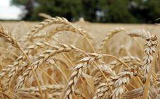 Free Wheat Royalty Free Stock Photo - 7821655