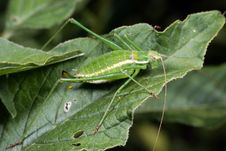 Free Green Grasshopper Stock Photography - 7821862