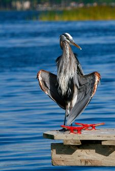 Free Great Blue Heron Stock Image - 7822011