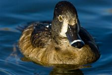 Ring Necked Duck Royalty Free Stock Images